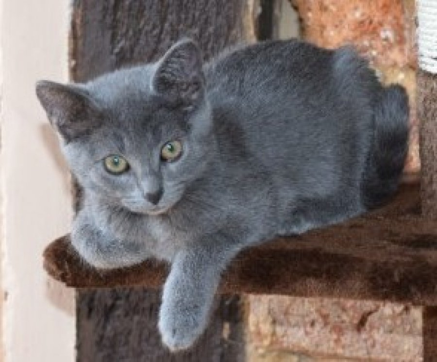 Blue Kittens For Sale : Russian blue kittens for sale offer malta u ac