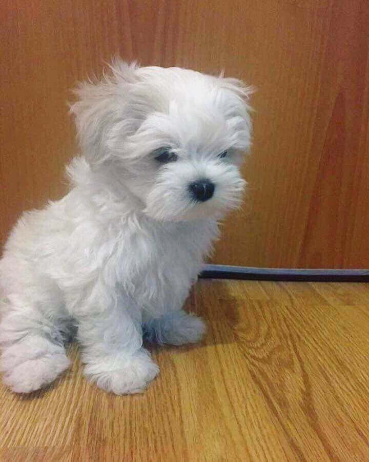 Full pedigree Maltese puppies one stoning little offer Dogs & Puppies