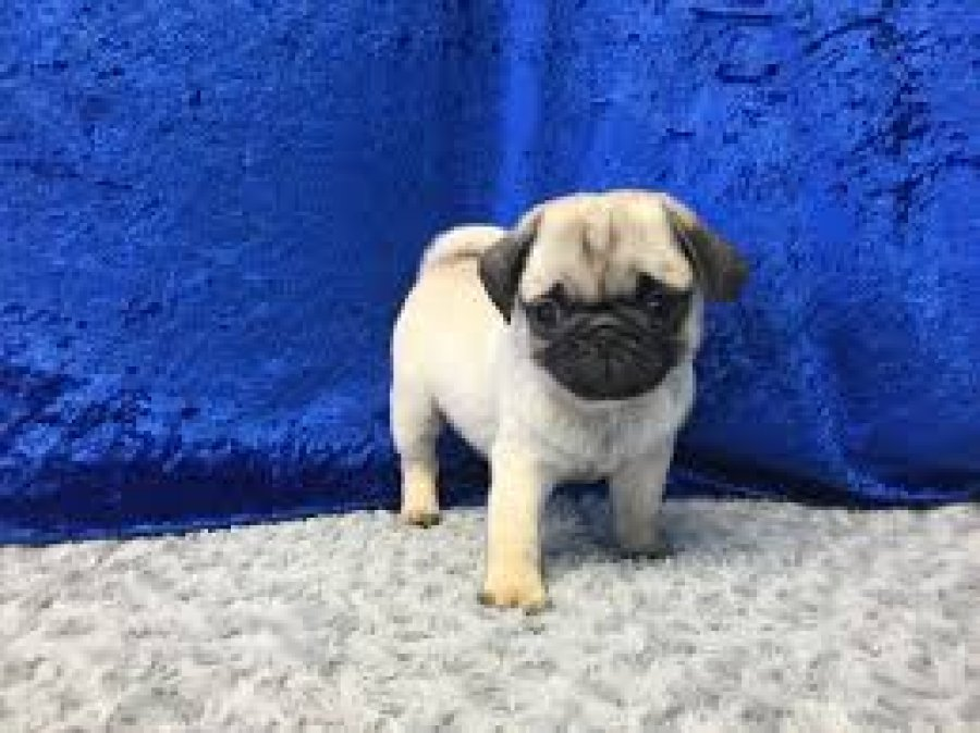 pug Puppies for adoption offer Dogs & Puppies