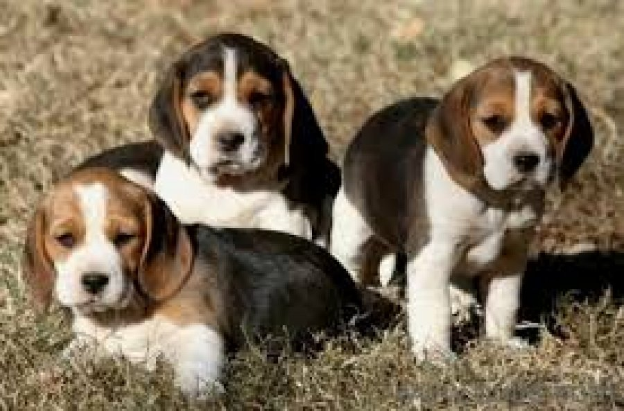 Beautiful Beagle Pups *ready Now* offer Dogs & Puppies