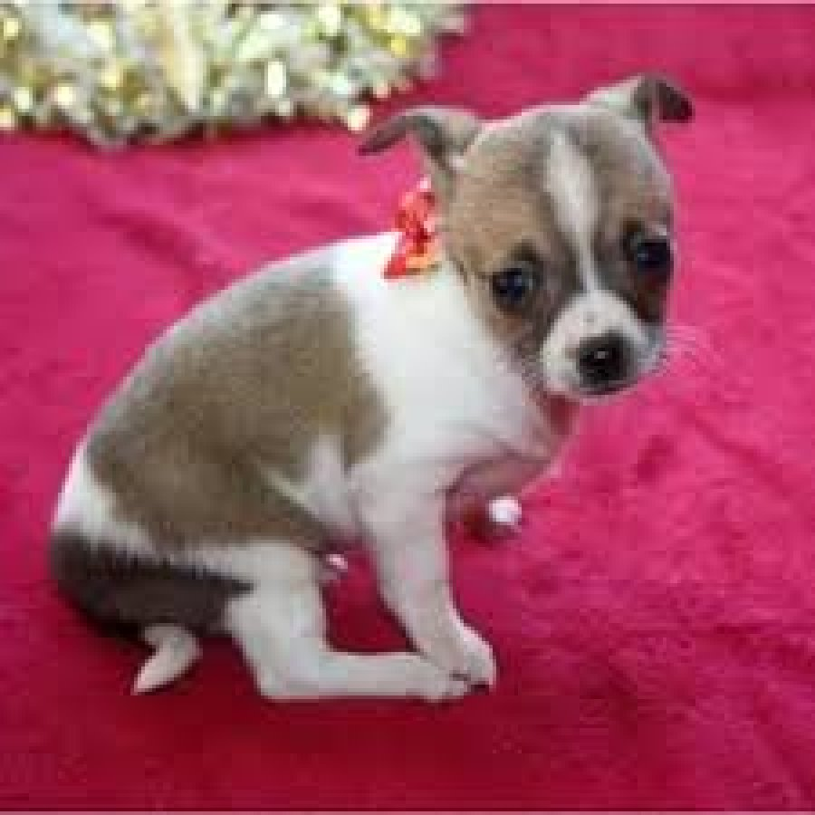 Long Coat Chihuahua offer Dogs & Puppies