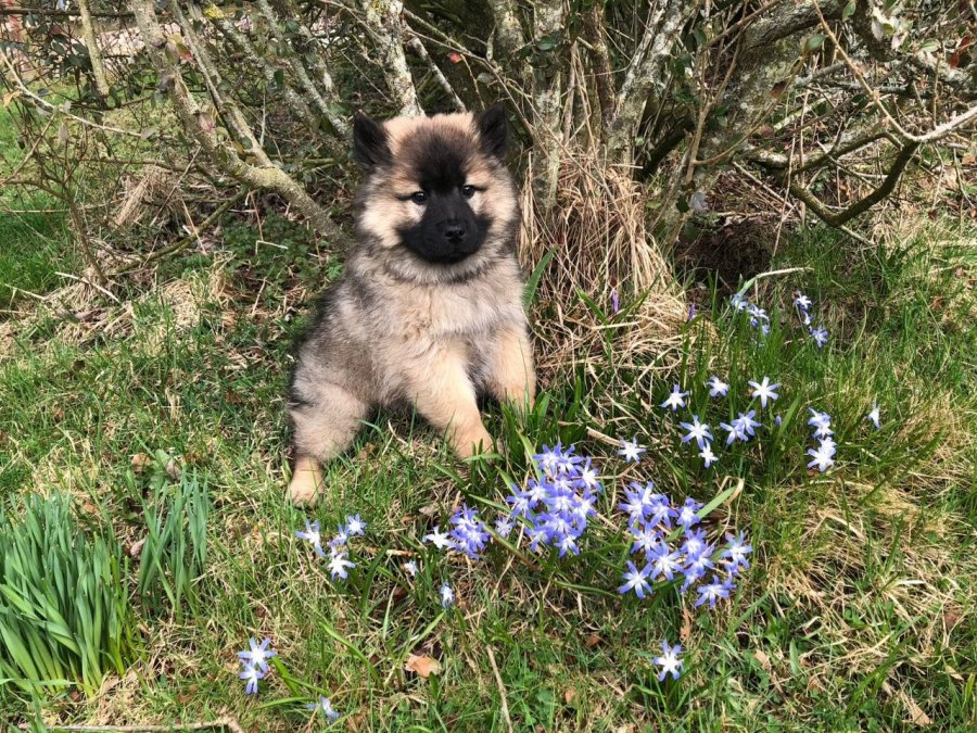 Stunning Eurasier Puppies For Sale Offer 250