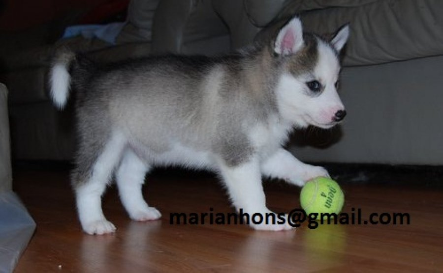 Pure breed Siberian Husky Puppies available for adoption now  offer Siberian Husky