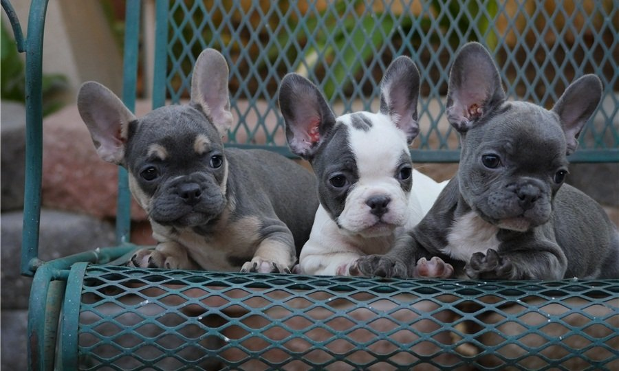 Well Trained French Bulldog Puppies For Sale ( champion bloodline) offer Bulldog