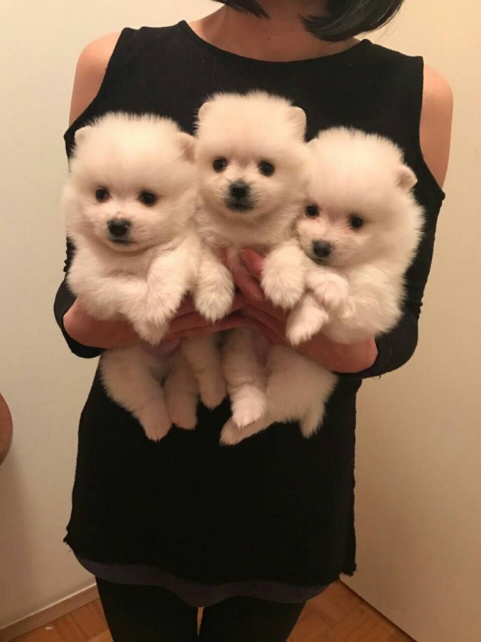 Tea Cup Pomeranian puppies with good champion bloodline offer Pomeranian