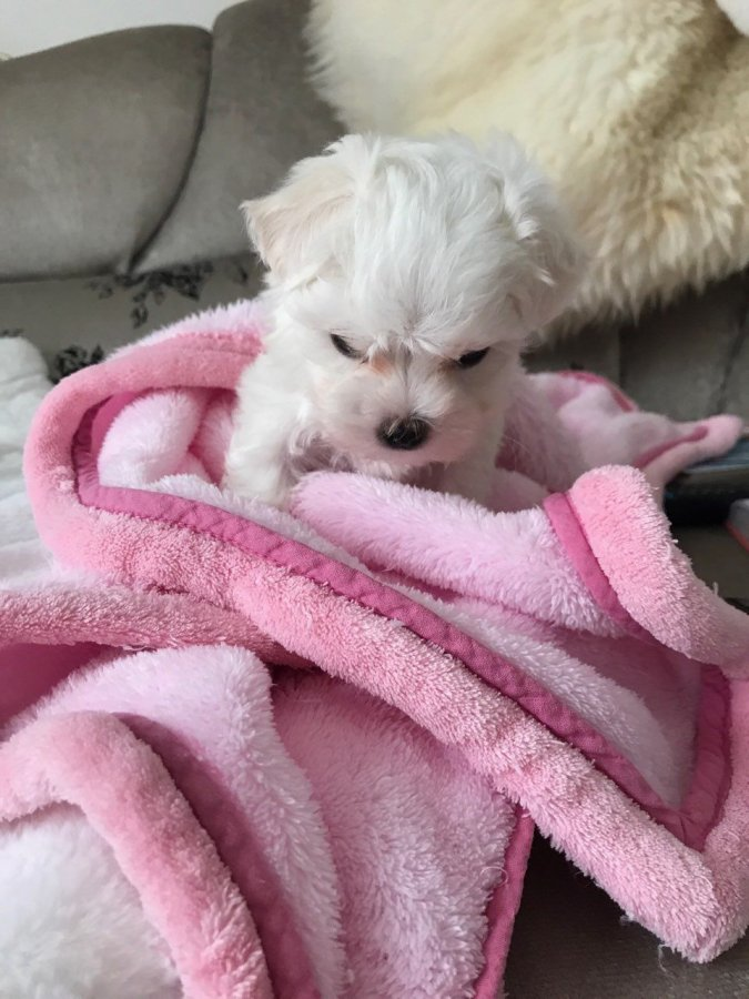 Teacup Maltese For Sale  Offer Malta €150