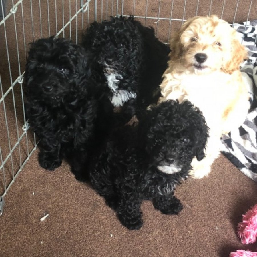 Toy Cockapoo Puppies F1b(last 3 Left) Offer €150