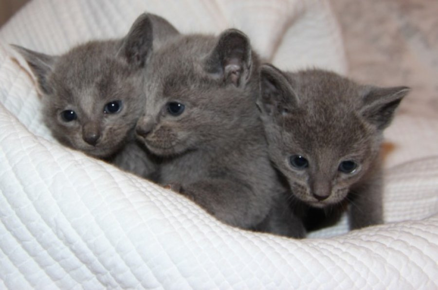 Gccf Full Pedigree Rusian Blue Boys 5 Weeks Old offer Cats & Kittens