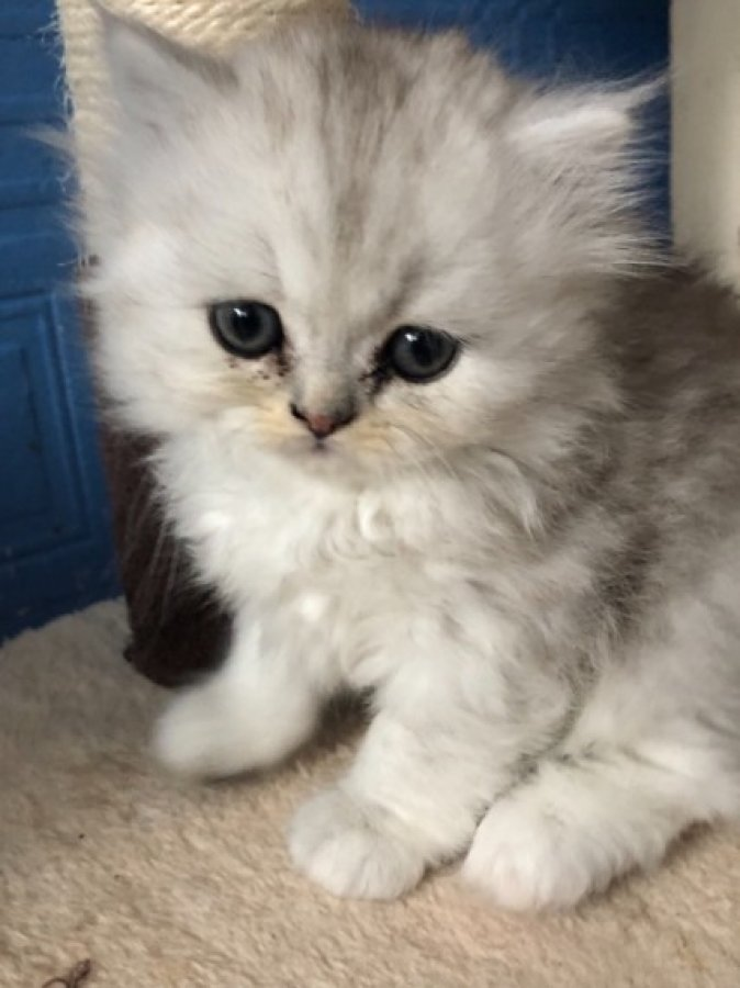 Stunning Silver Bi-colour Persian Kittens Only 3 offer Cats & Kittens