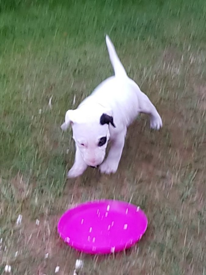 English Bull Terrier Rescue