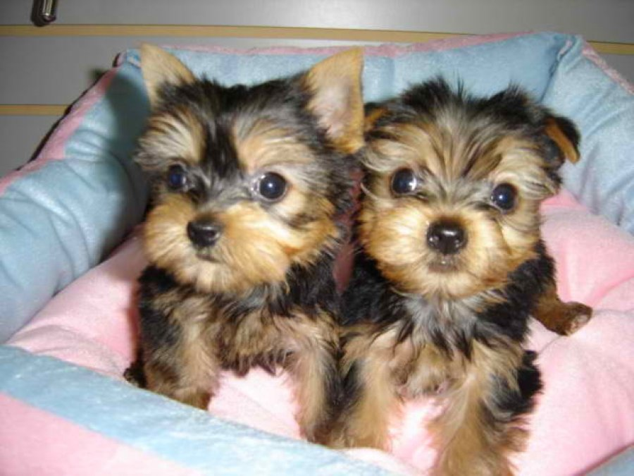 Beautiful Puppy Yorkshire Terrier Kc ,pedigree  ( ready This Week ) offer Yorkshire Terrier