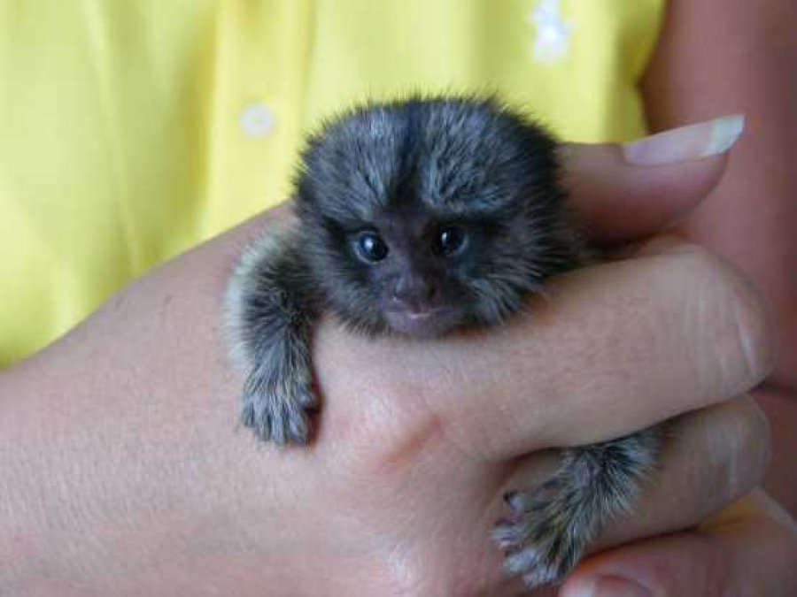 Baby Marmoset Monkey needs new home today text us now. offer Exotic pets