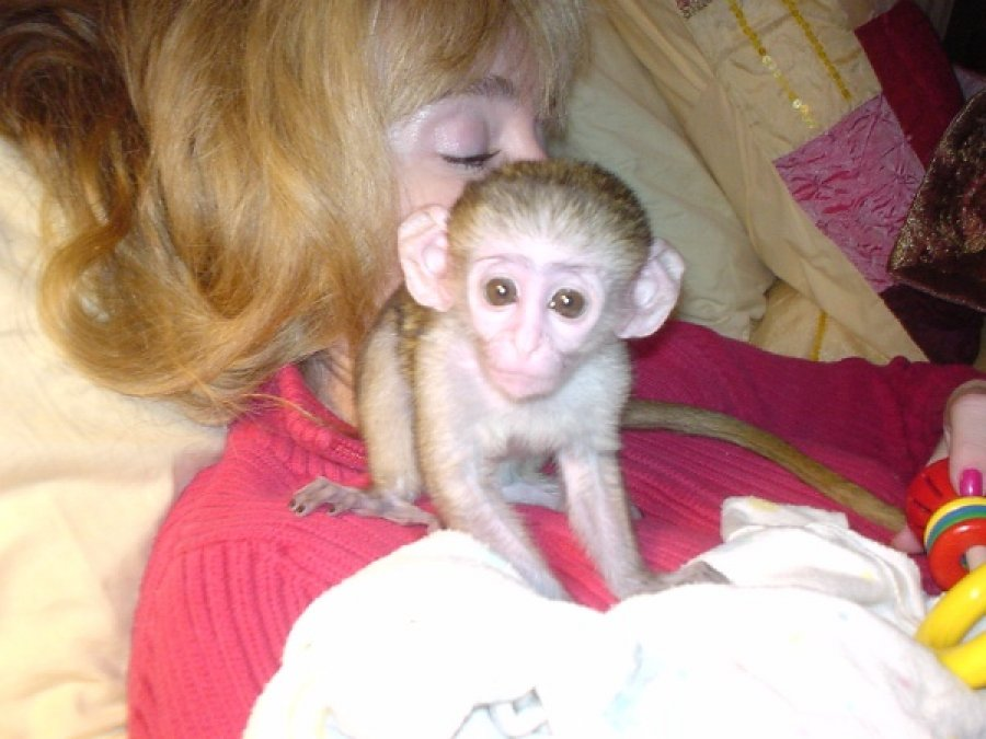 Chimpanzee, Capuchin,Squirrel,spider & marmoset monkeys available for adoption now offer Exotic pets