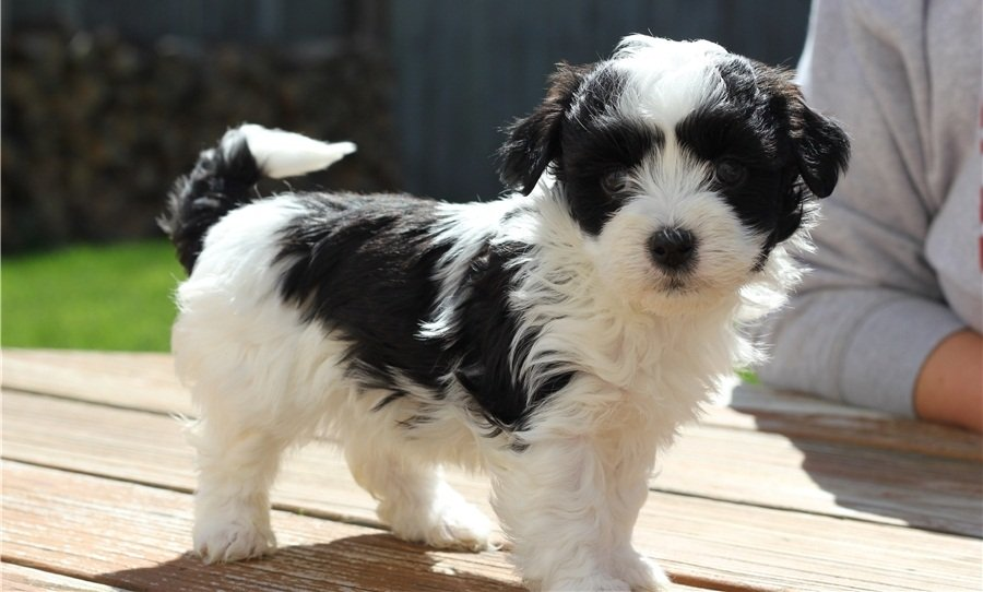 Kc Registered Havenese Puppies offer Other Breeds of Dogs