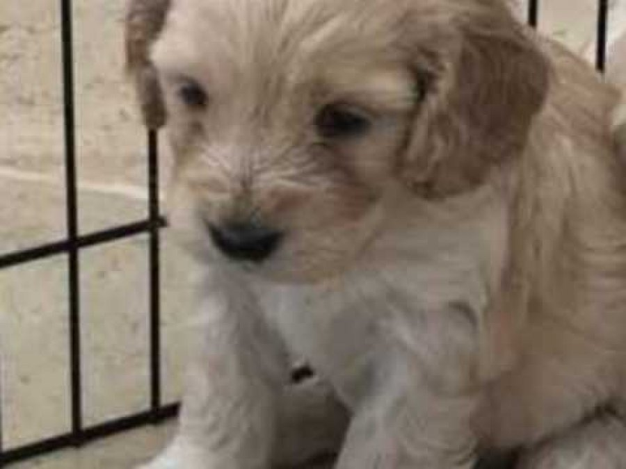 Stunning F1 Apricot And Champagne Cockapoo Puppies150 Offer malta €150
