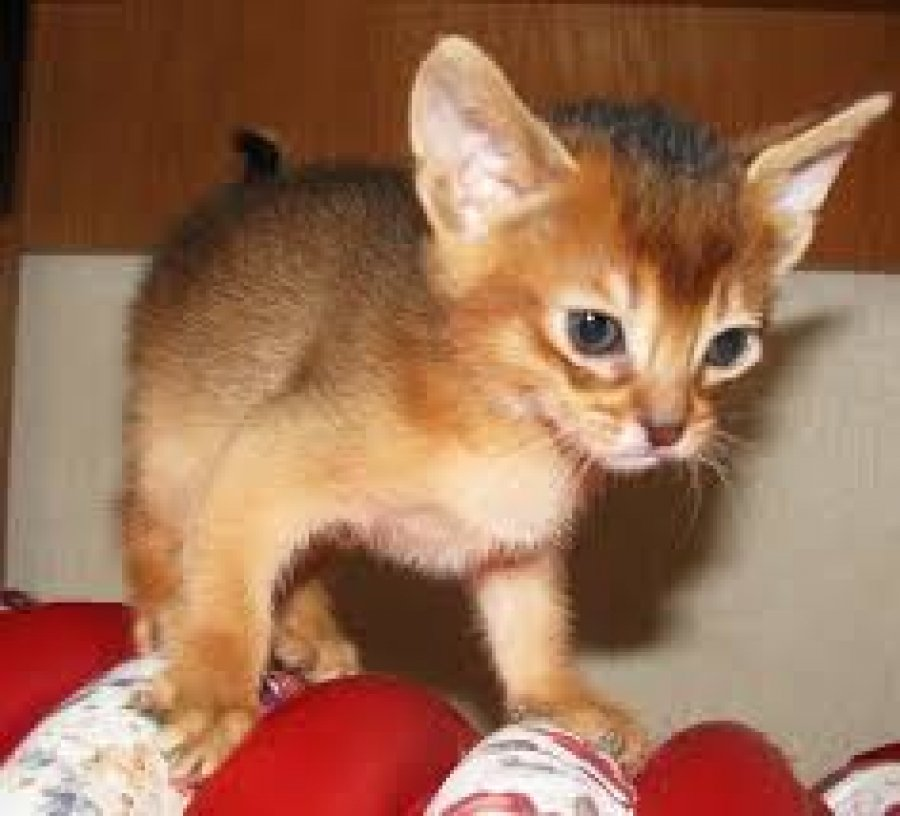 Cute Abyssinian Kittens Available for sale offer Cats & Kittens