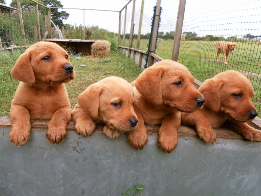Chocolate Labrador Puppies For Sale Offer €200