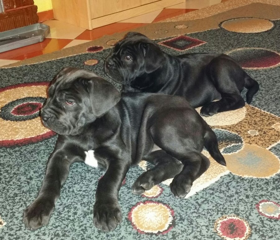 Cane Corso Puppies For Adoption Offer 200