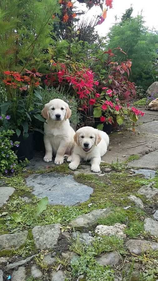 Gorgeous golden retrieve Puppies For Sale ready This Week Offer