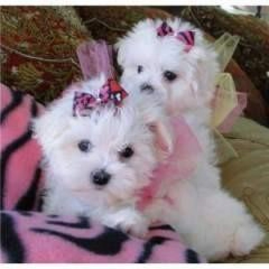 Pure White Maltese Puppies Ready for sale Offer