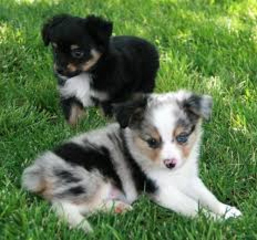 Lovely male and female Australian Shepherds Puppies for Sale Offer