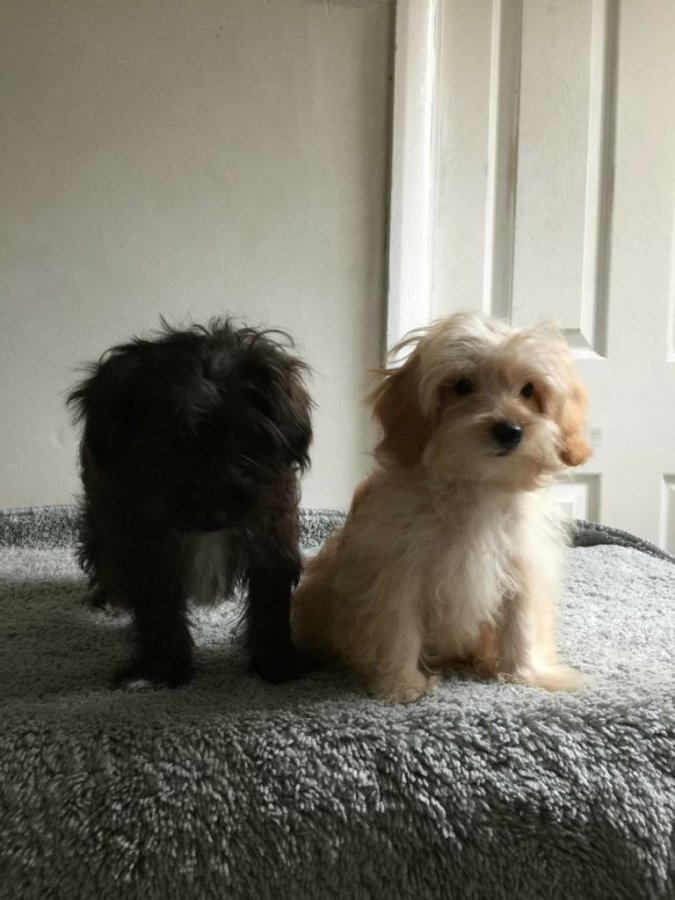 Yorkiepoo boys available offer Dogs & Puppies