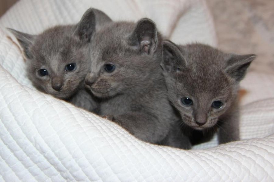 Beautiful Russian Blue Kittens Offer 210