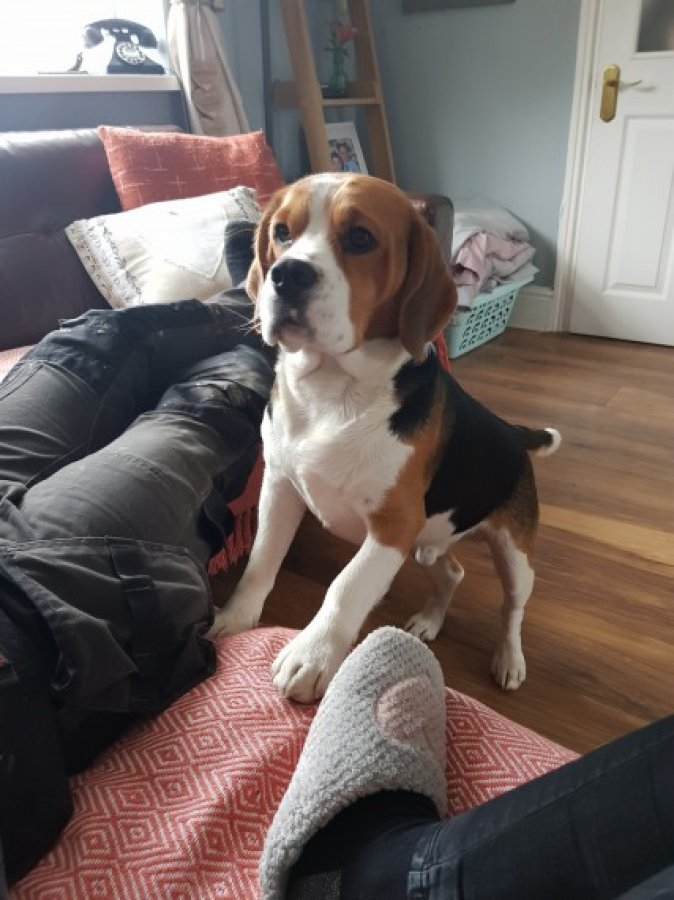 Chaming Beagle Puppies For Free Adoption Offer