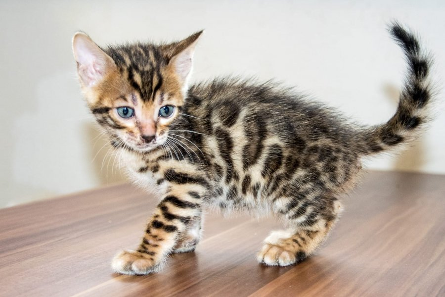 Top Quality Bengal Kittens  Ready Now offer Bengal