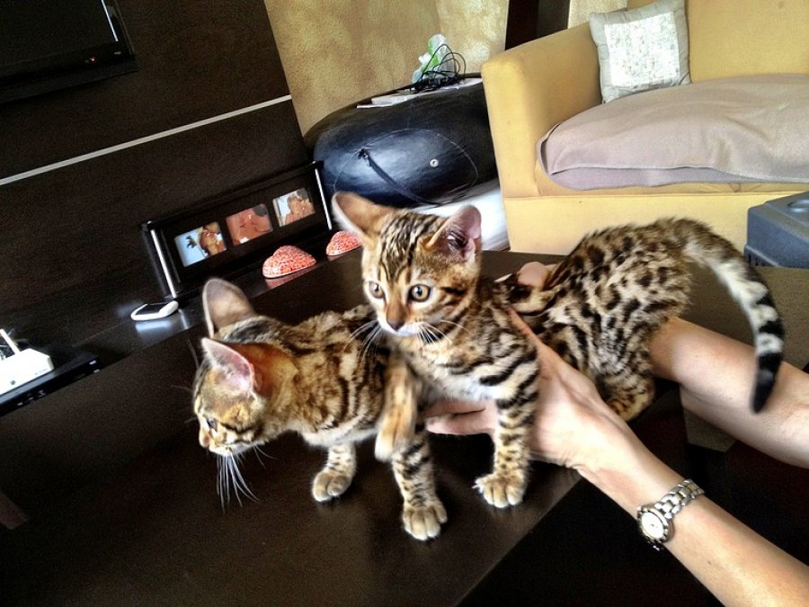 Stunning Bengal Kitten (100% Pure)  Ready Now  offer Bengal