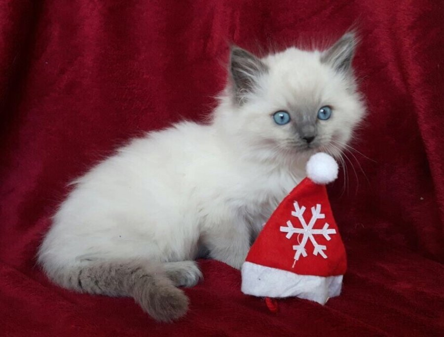 Gccf Registered - Full Pedigree Ragdoll Kittens offer Ragdoll