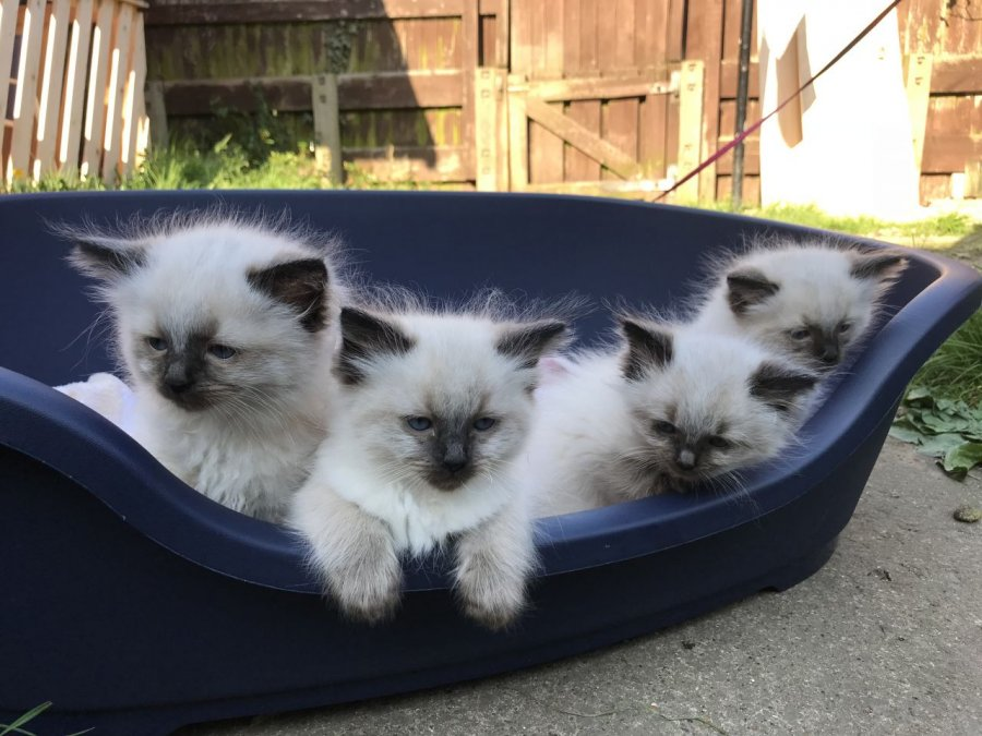 Pure Ragdoll Kittens 1 Blue Bicolour Boy Left offer Ragdoll