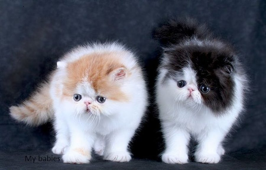Beautiful Pedigree Persian Kitten offer Persian