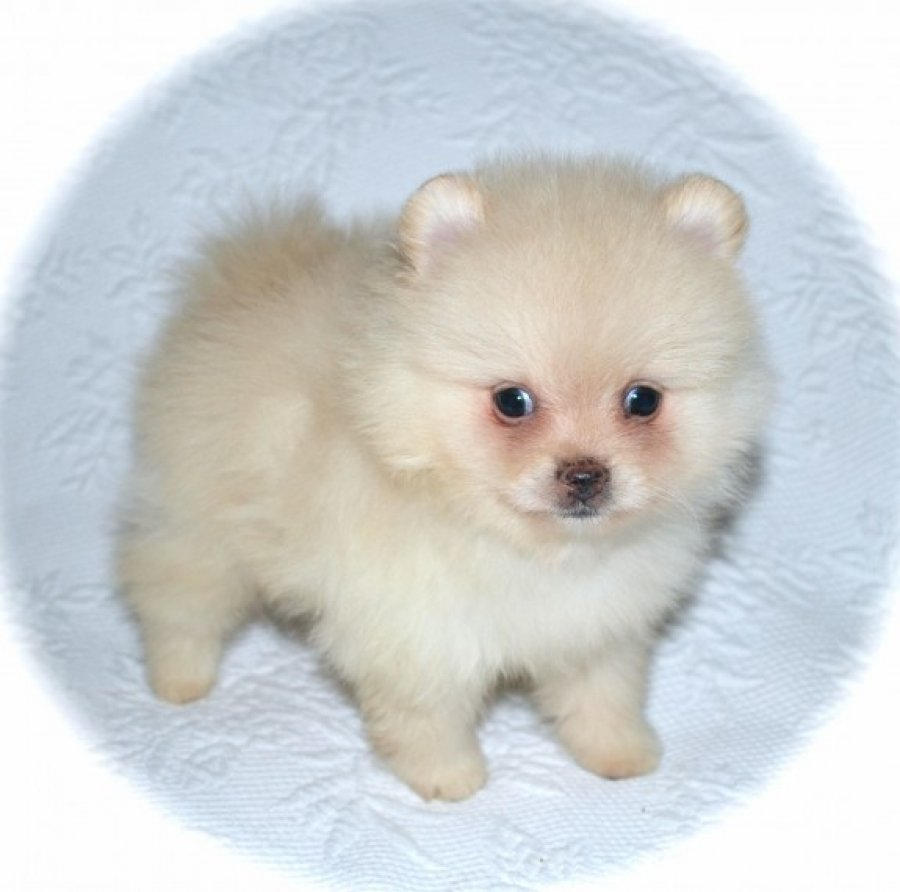 Pomeranian Puppies offer Dogs & Puppies