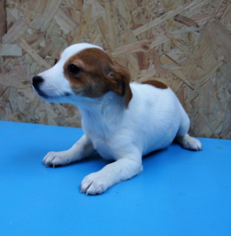 Jack Russell  offer Dogs & Puppies