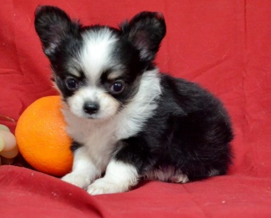 chihuahua's  offer Dogs & Puppies
