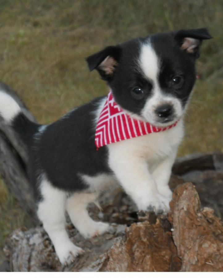 Chihuahua Puppies offer Dogs & Puppies