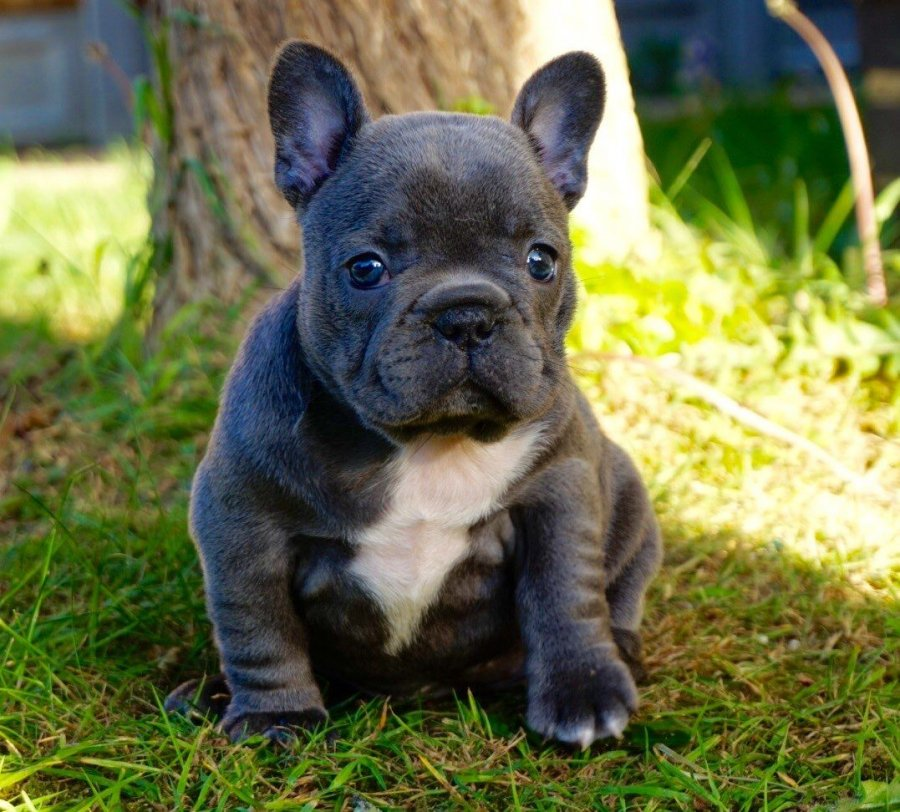 French Bulldog offer Dogs & Puppies
