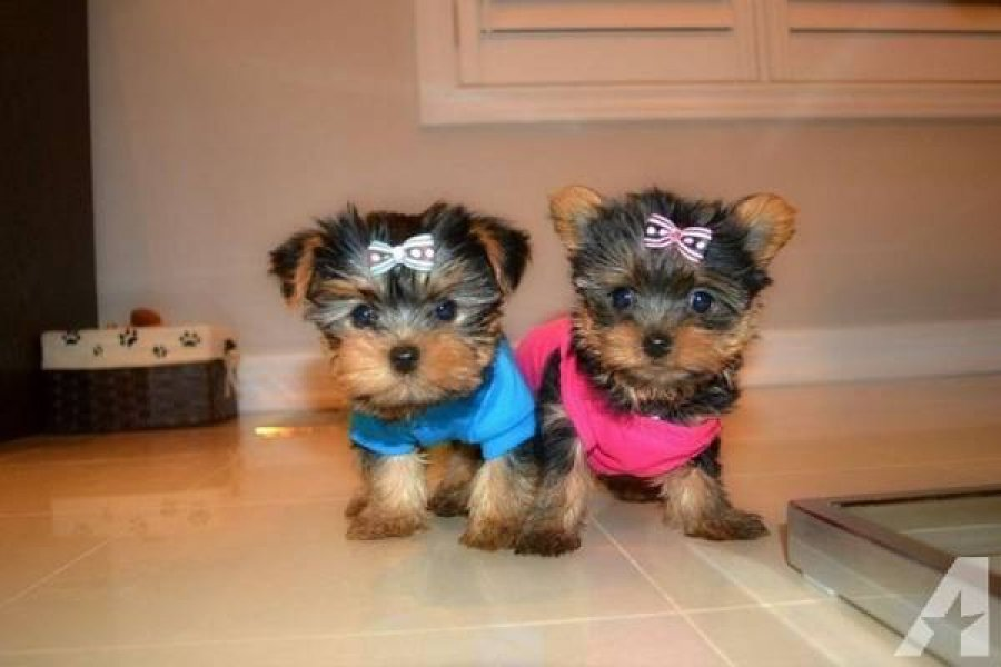 Yorkie Puppies Males & Females offer Dogs & Puppies