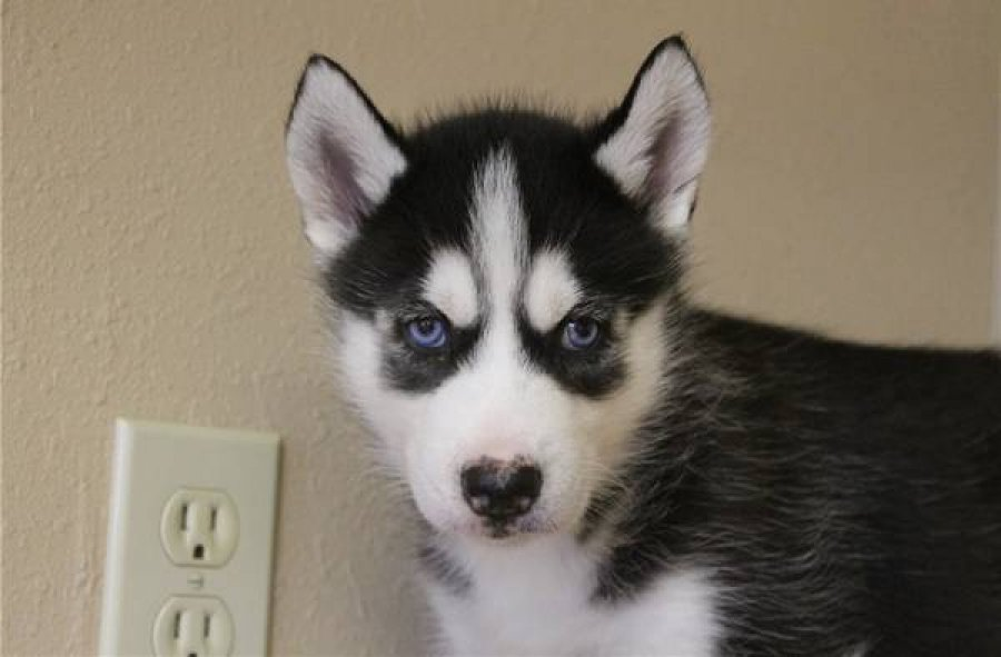 Siberian Husky Puppies offer Dogs & Puppies