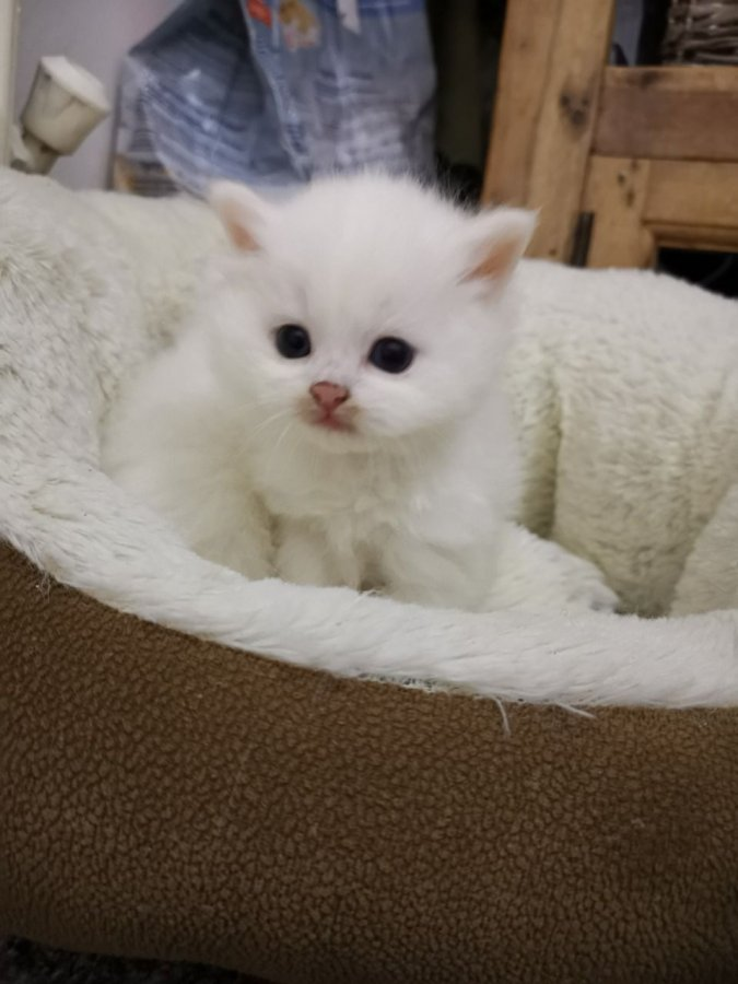 pure blue eyed snow white pedigree persian kittens for