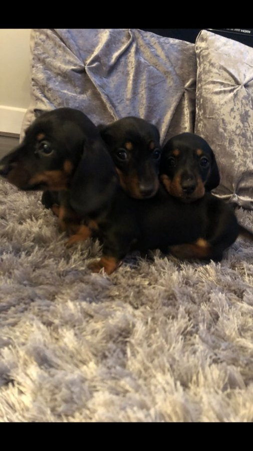 6 Miniature Dachshunds For Adoption Offer 200