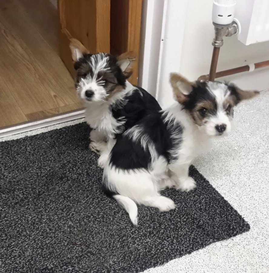 Beautiful Biewer Terrier puppies offer Dogs & Puppies