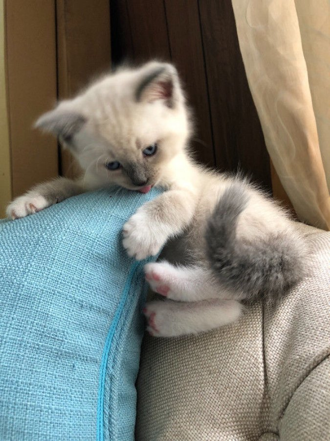 Extra Cute Chocolate Minted Beauty Ragdoll Kittens Offer