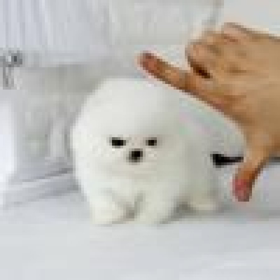 Teacup Pomeranian Mini Boo Puppies Pure White (2 Left) offer Pomeranian