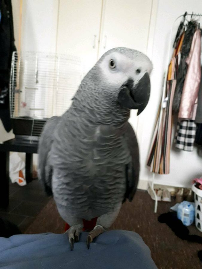 African Grey Parrots for Adoption offer Birds