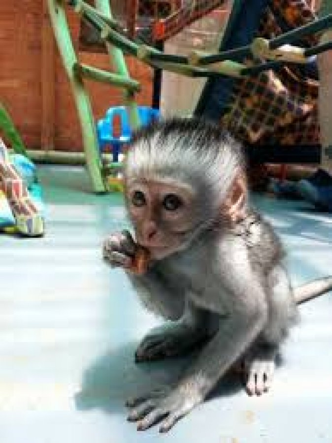 Adorable and Sweet Capuchin Monkeys for sale Offer