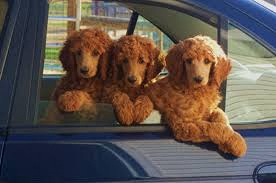 Trained Standard Poodles For Sale