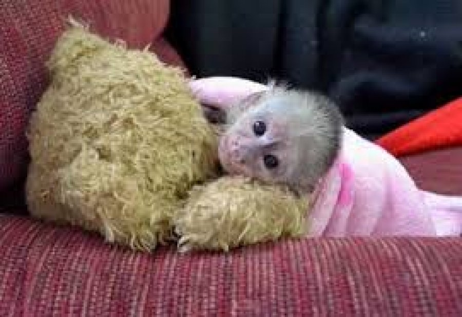 Hand Raised Capuchin Monkey for Sale Offer