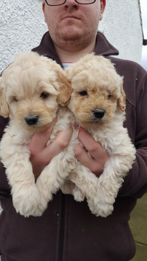 Healthy Goldendoodle Puppies Available for sale offer Golden Retriever
